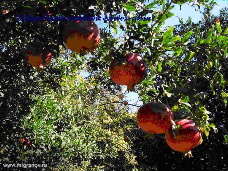 2.Какое дерево называют деревом-садом? Дерево-сад – это дерево на Сочинской а...
