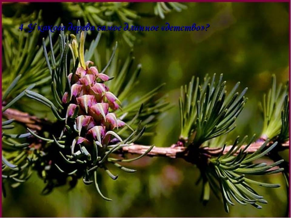 4. У какого дерева самое длинное «детство»?