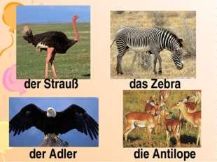 der Strauß das Zebra der Adler die Antilope