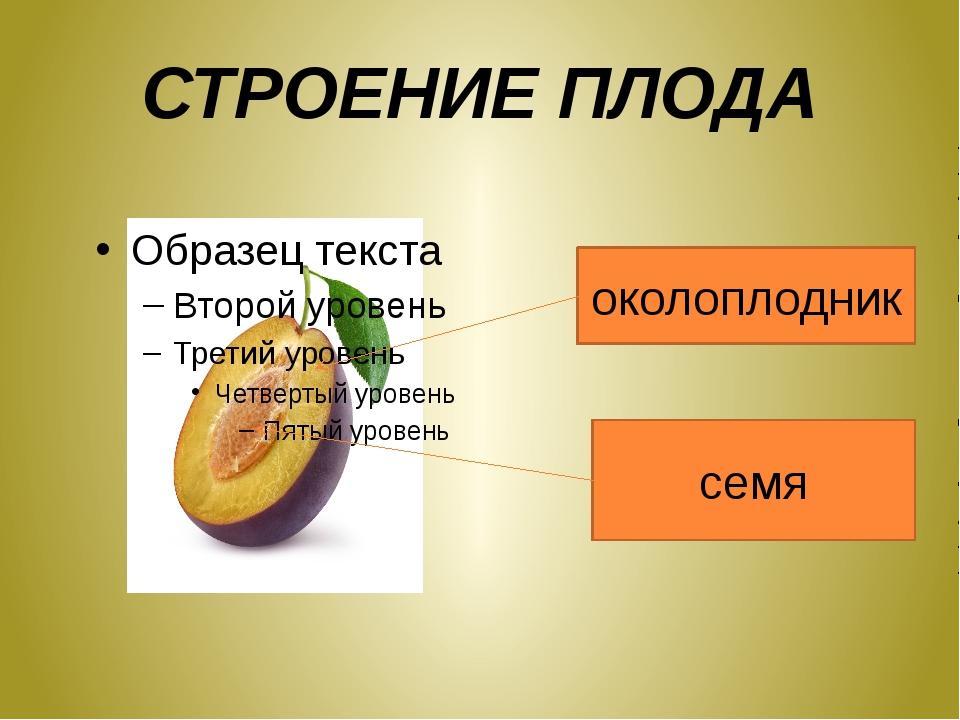 СТРОЕНИЕ ПЛОДА околоплодник семя