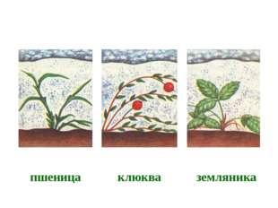 пшеница клюква земляника