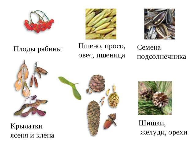 Плоды рябины Пшено, просо, овес, пшеница Семена подсолнечника Крылатки ясеня...
