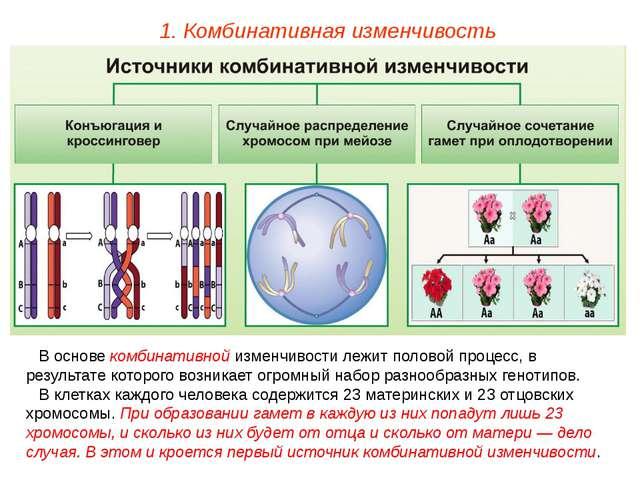 1. Комбинативная изменчивость В основе комбинативной изменчивости лежит полов...