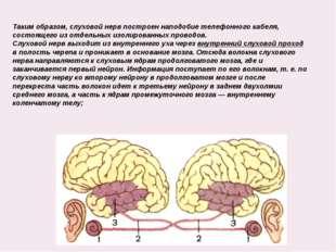Таким образом, слуховой нерв построен наподобие телефонного кабеля, состояще