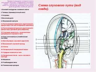 Схема слухового пути (вид сзади). Правое полушарие головного мозга рассечено