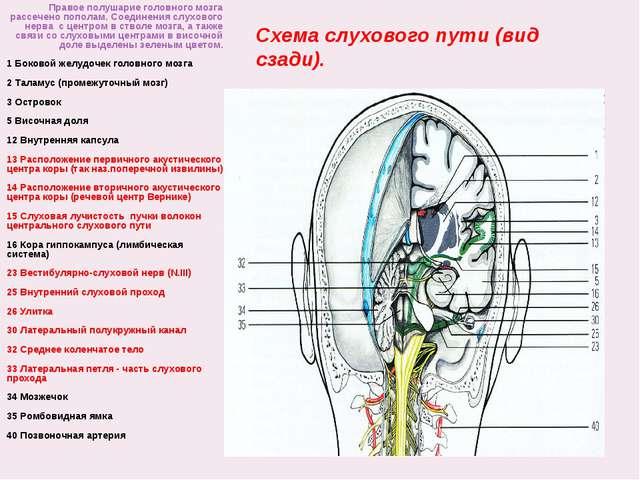 Схема слухового пути (вид сзади). Правое полушарие головного мозга рассечено...