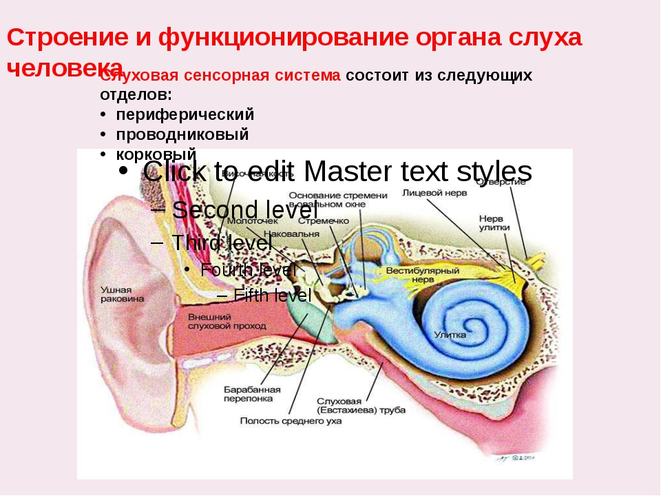 Слуховая сенсорная система состоит из следующих отделов: периферический прово...