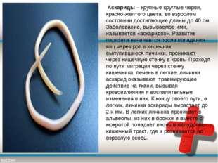 Аскариды– крупные круглые черви, красно-желтого цвета, во взрослом состояни