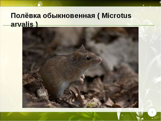 * Полёвка обыкновенная ( Microtus arvalis )