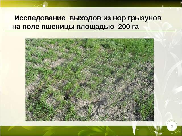 * Исследование выходов из нор грызунов на поле пшеницы площадью 200 га