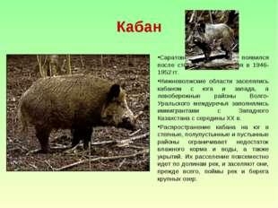 Кабан Саратовской областях появился после столетнего отсутствия в 1946-1952 г