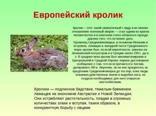 Европейский кролик Кролик— этот такой симпатичный с виду и во многих отношени