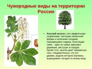 Чужеродные виды на территории России Конский каштан с его эффектными соцветия