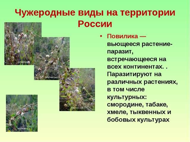 Чужеродные виды на территории России Повилика — вьющееся растение-паразит, вс...