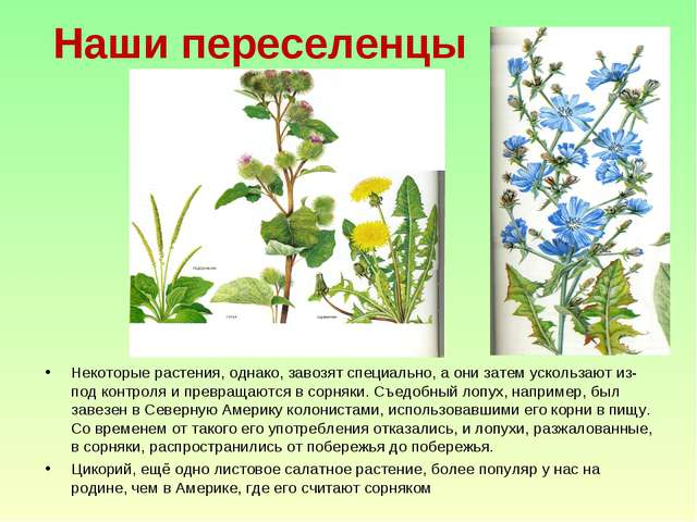 Наши переселенцы Некоторые растения, однако, завозят специально, а они затем...