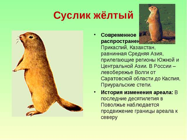 Суслик жёлтый Современное распространение: Северный Прикаспий, Казахстан, рав...