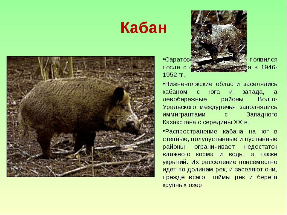 Кабан Саратовской областях появился после столетнего отсутствия в 1946-1952 г...