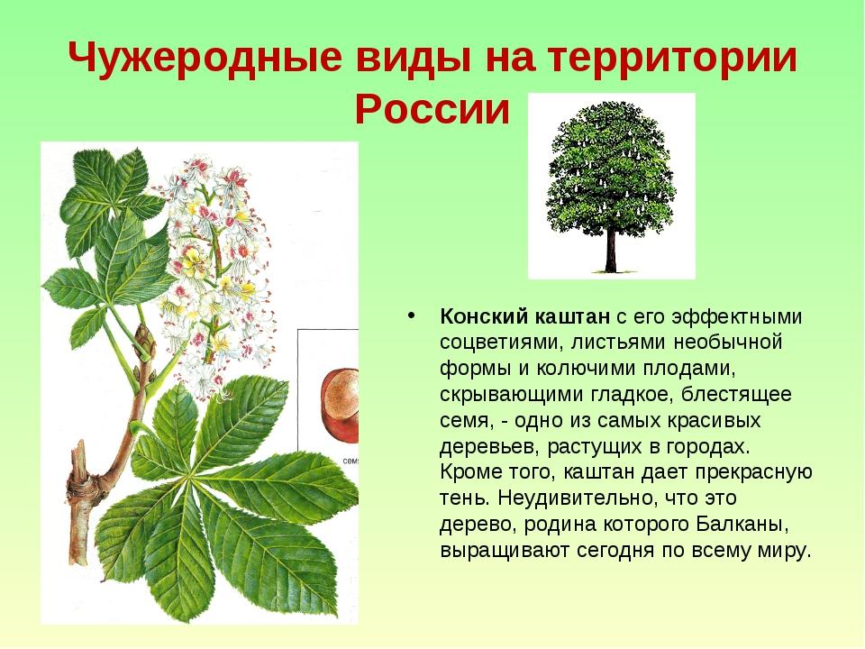 Чужеродные виды на территории России Конский каштан с его эффектными соцветия...