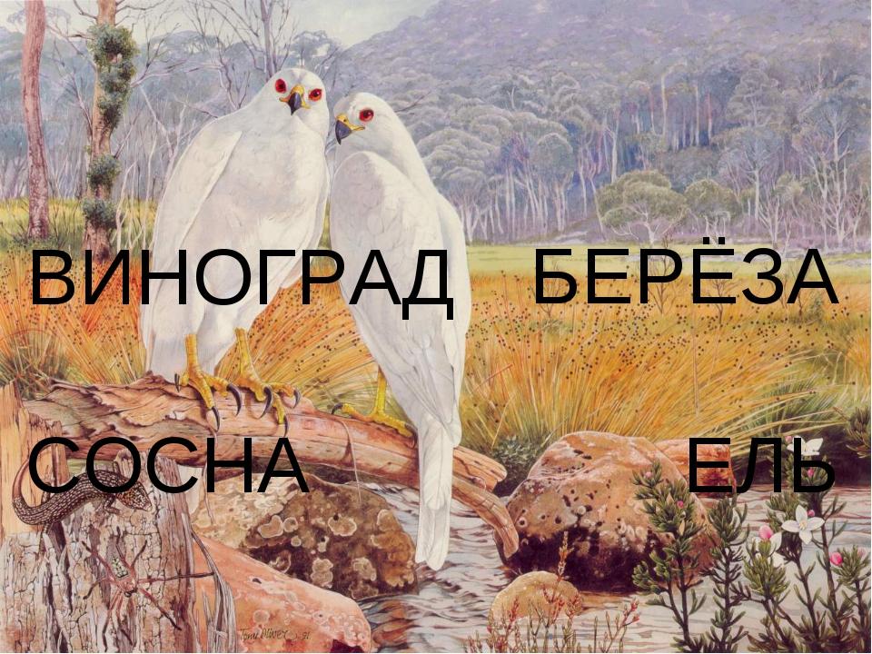 БЕРЁЗА СОСНА ЕЛЬ ВИНОГРАД