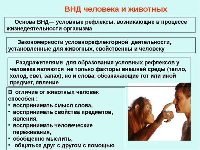 ВНД человека и животных Основа ВНД— условные рефлексы, возникающие в процессе...