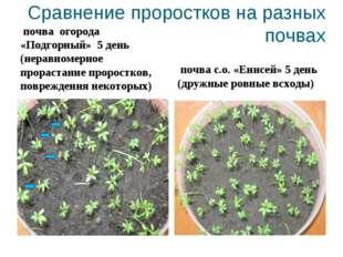 Сравнение проростков на разных почвах почва огорода «Подгорный» 5 день (нерав