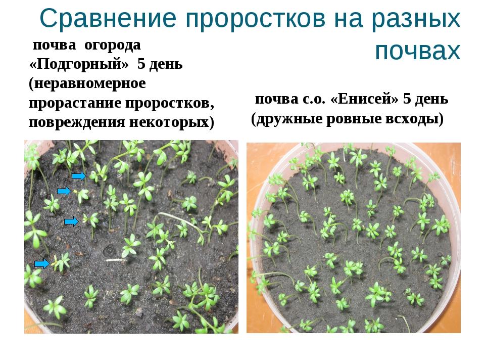 Сравнение проростков на разных почвах почва огорода «Подгорный» 5 день (нерав...