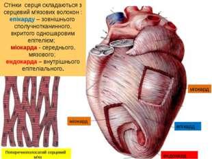 Стінки серця складаються з серцевий м'язових волокон : епікарду – зовнішнього