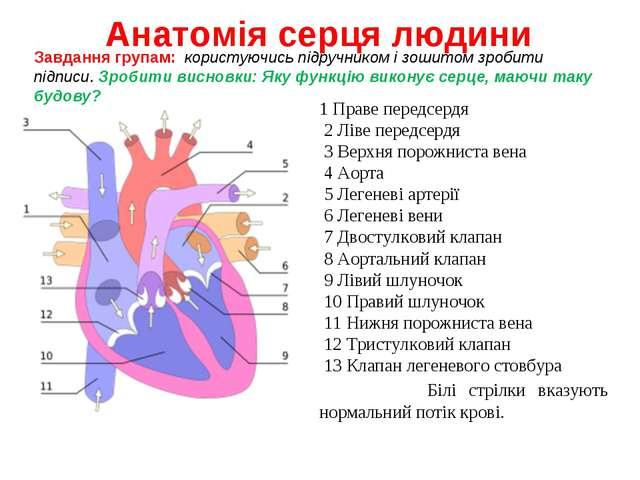 Анатомія серця людини 1 Праве передсердя 2 Ліве передсердя 3 Верхня порожнист...