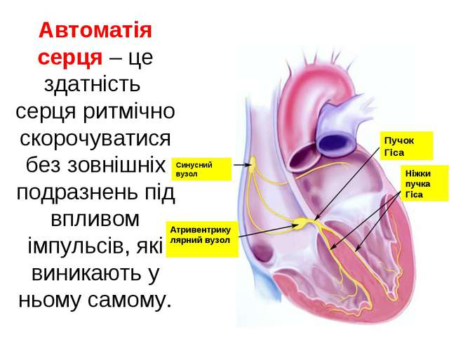 Автоматія серця – це здатність серця ритмічно скорочуватися без зовнішніх под...