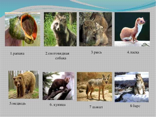 1.рапана 2.енотовидная собака 3 рысь 4.ласка 5.медведь 6. куница 7 шакал 8 барс