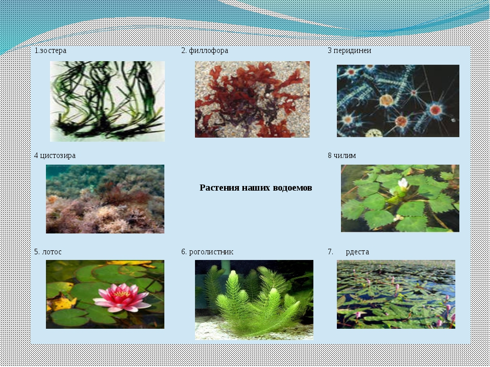 1.зостера 2. филлофора 3перидинеи 4цистозира Растениянаших водоемов 8 чилим 5...