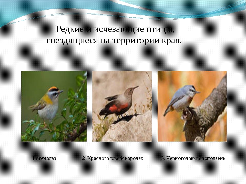 Редкие и исчезающие птицы, гнездящиеся на территории края. 1 стенолаз 2. Крас...