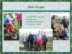 День Кедра * 14 мая 2013 года мы посадили на территории школы 6 молодых сосён