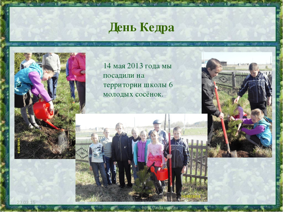 День Кедра * 14 мая 2013 года мы посадили на территории школы 6 молодых сосён...