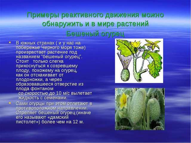Примеры реактивного движения можно обнаружить и в мире растений Бешеный огур...