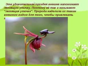 Эта удивительная орхидея внешне напоминает летящую уточку. Поэтому её так и