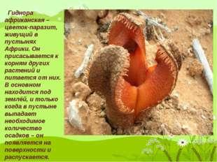 Гиднора африканская – цветок-паразит, живущий в пустынях Африки. Он присасыв