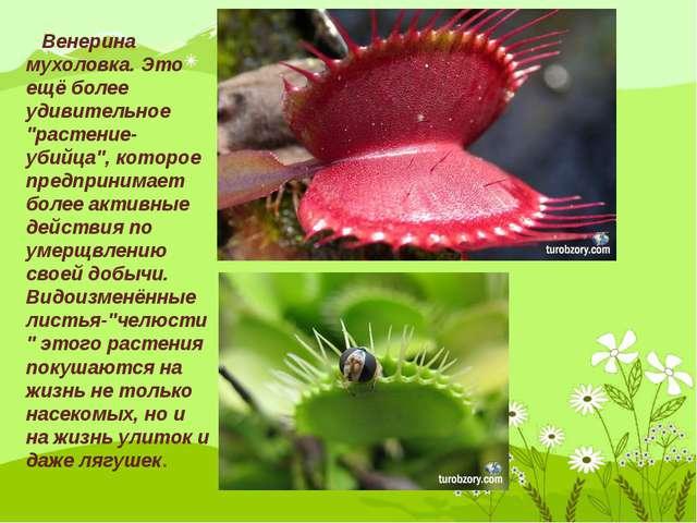 """Венерина мухоловка. Это ещё более удивительное """"растение-убийца"""", которое пр..."""