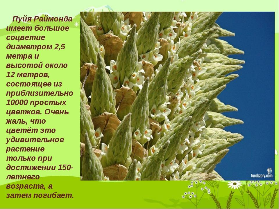 Пуйя Раймонда имеет большое соцветие диаметром 2,5 метра и высотой около 12...