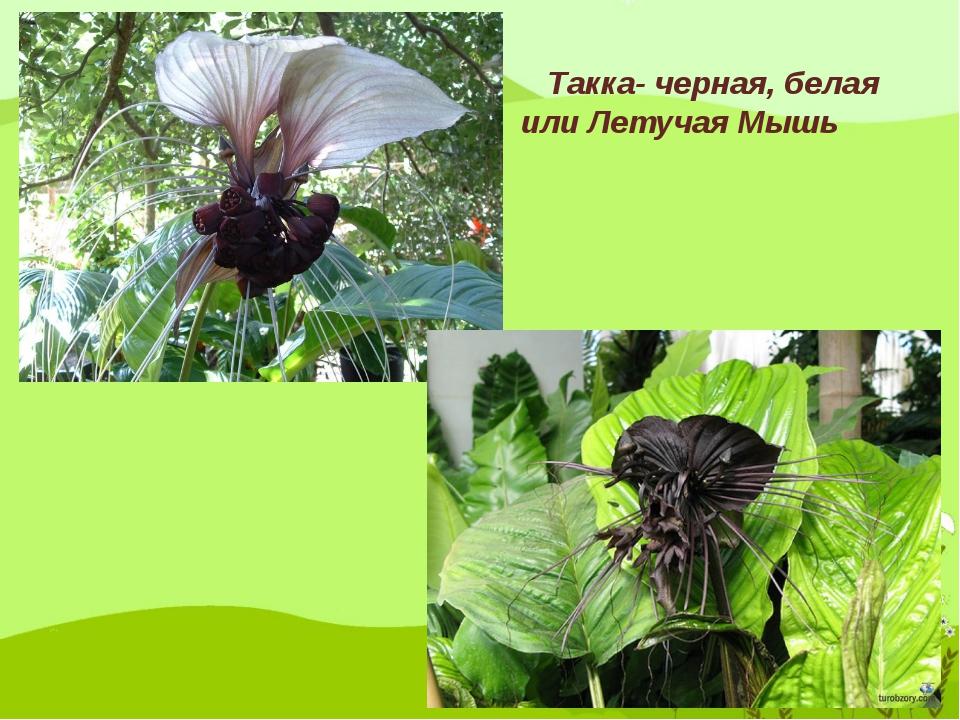 Такка- черная, белая или Летучая Мышь
