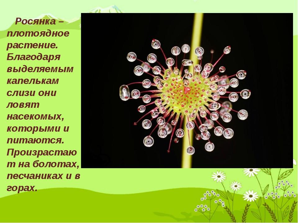 Росянка – плотоядное растение. Благодаря выделяемым капелькам слизи они ловя...