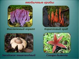 Фиолетовый коралл Коралловый гриб Звездовик мешковидный Сигара дьявола необы