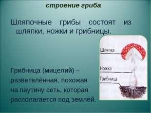 Шляпочные грибы состоят из шляпки, ножки и грибницы. Грибница (мицелий) – раз