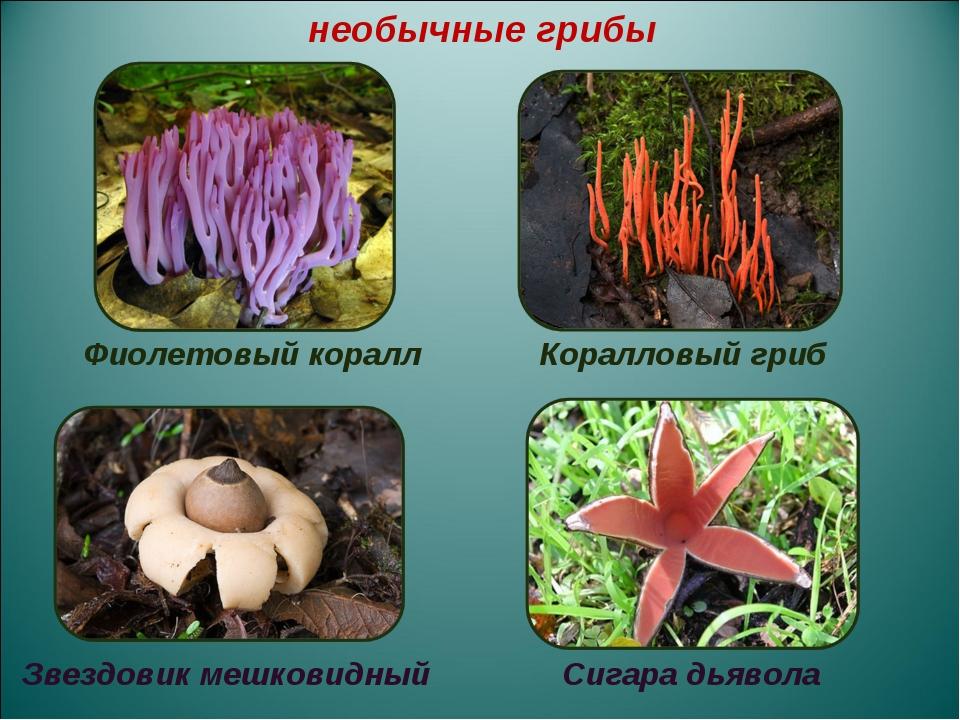 Фиолетовый коралл Коралловый гриб Звездовик мешковидный Сигара дьявола необы...