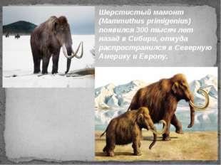 Шерстистый мамонт (Mammuthus primigenius) появился 300 тысяч лет назад в Сиби