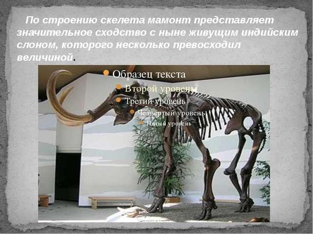 По строению скелета мамонт представляет значительное сходство с ныне живущим...