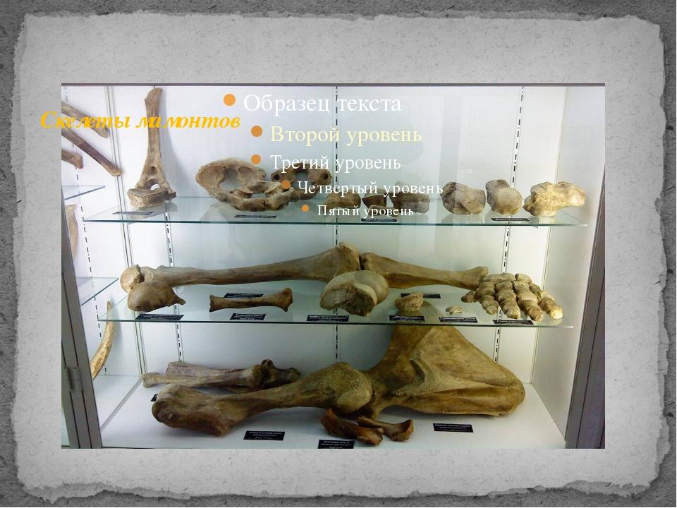 Скелеты мамонтов
