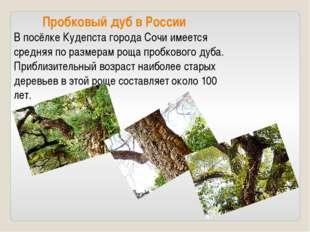 Пробковый дуб в России В посёлке Кудепста города Сочи имеется средняя по раз