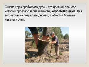 Снятие коры пробкового дуба – это древний процесс, который производят специал