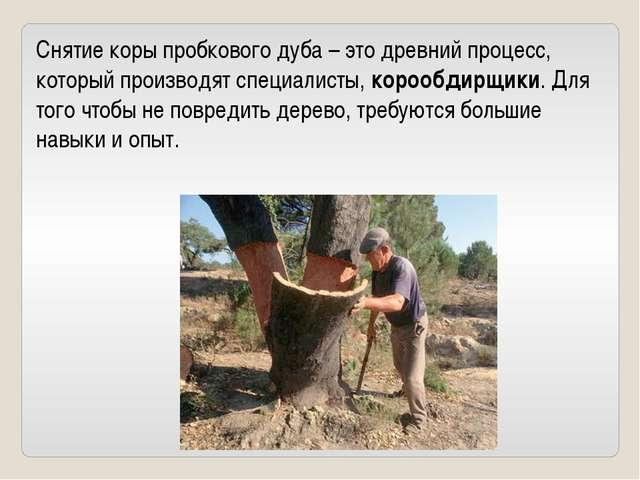 Снятие коры пробкового дуба – это древний процесс, который производят специал...